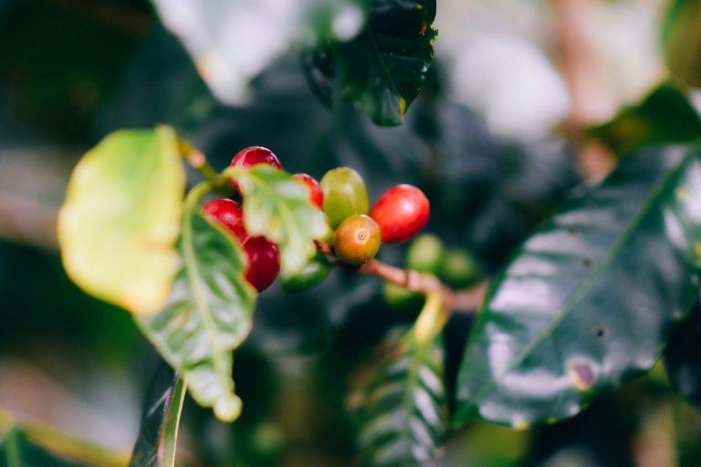 Koffiebes aan koffieplant